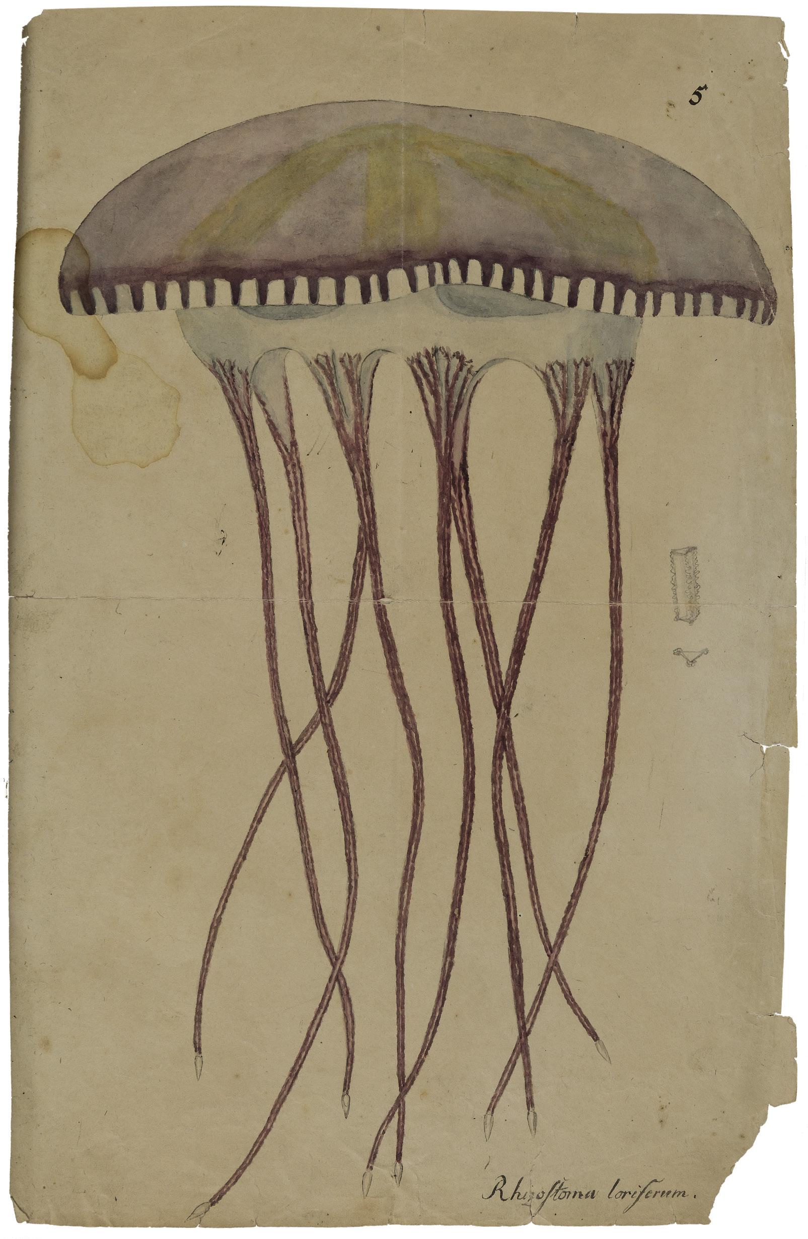 Wurzelmundqualle